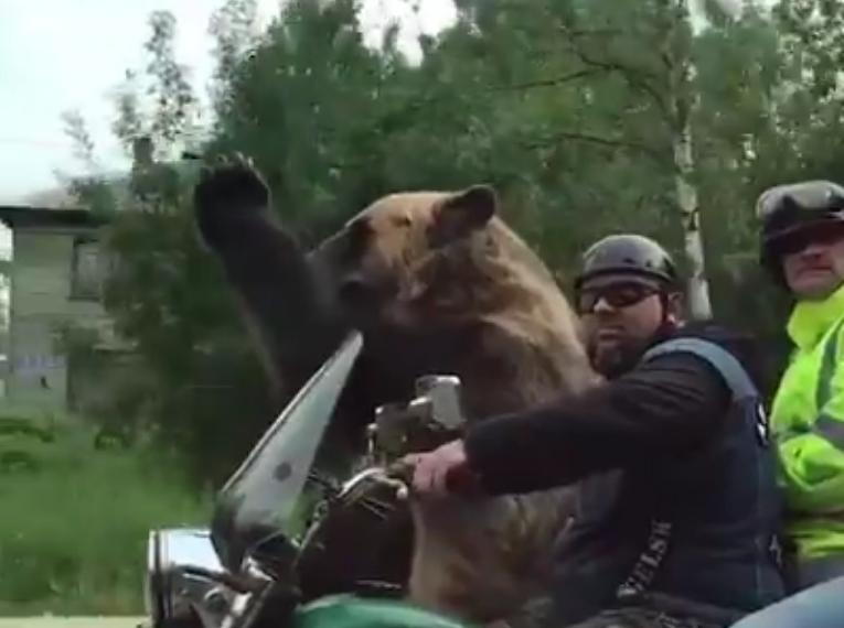 Медведь на мотоцикле.