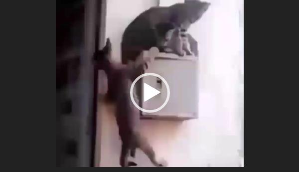 Не для троих. Видео приколы про кошек.