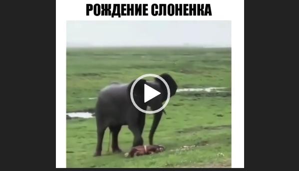 Рождение слоненка. Видео с животными.