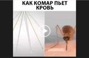 Скачать видео о том как комар пьет кровь.