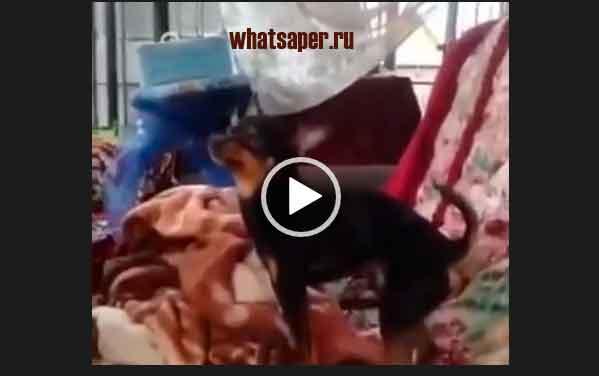 Смешные видео приколы про собак. Самое ржачное видео про животных.