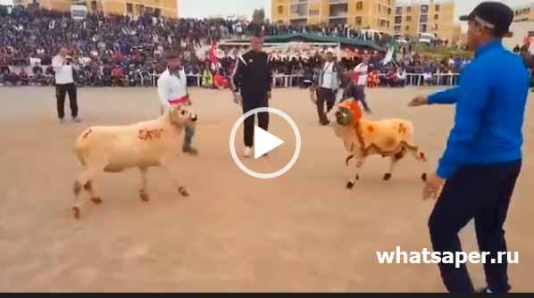 Интересное видео - Бой баранов. Как дерутся бараны?