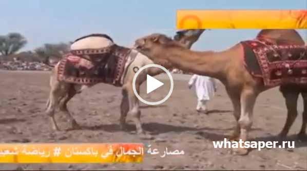 Бой верблюдов. Как дерутся верблюды?