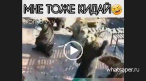 Короткие видео приколы про медведей.