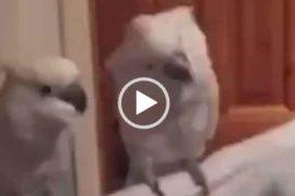 Попугай танцует под песню. Приколы с попугаем.