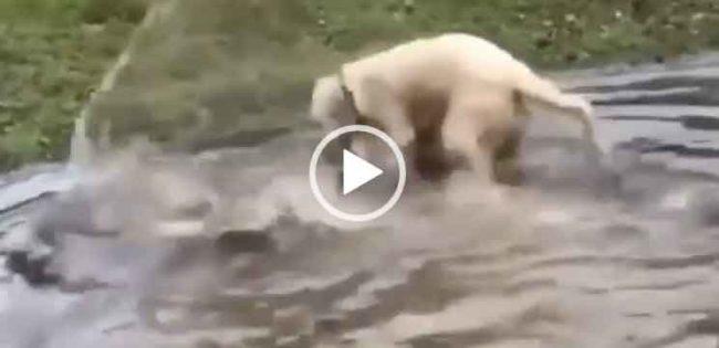 Собака ловит рыбу смотреть видео