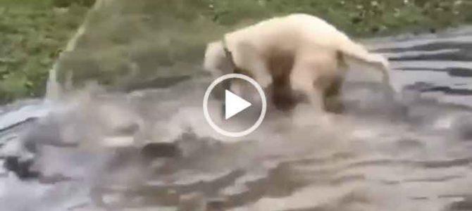 Собака ловит огромную рыбу. Невероятное видео.