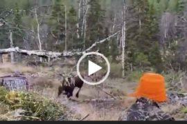 Опасная охота на лося. Невероятное видео охоты. Скачать.