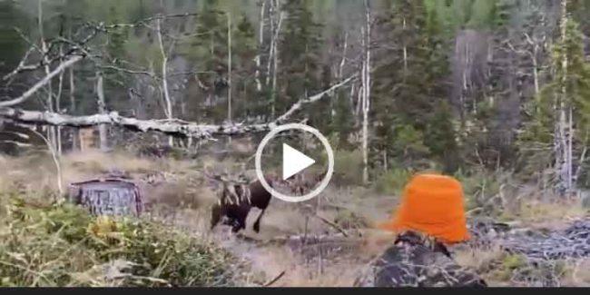 Охота на лося новое видео 2020.