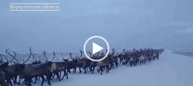 Побольше таких оленей на дорогах. Приколы с животными.