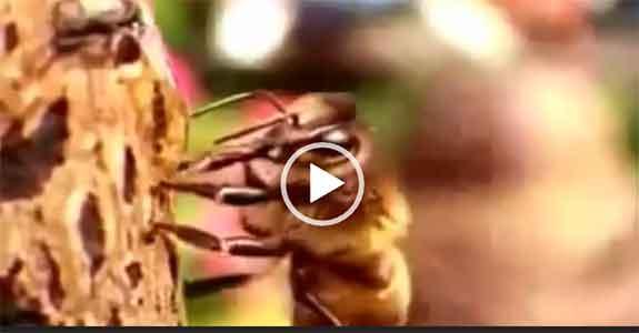 Пчелы и алкоголь. Интересное видео о пчелах. Скачать.