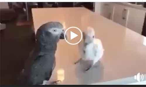 Смешное видео попугай танцует